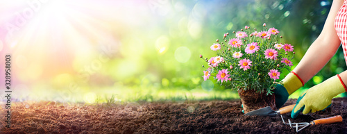 Gardening - Gardener Planting A Daisy In The Soil