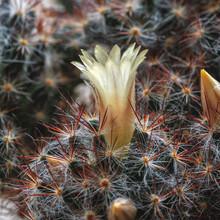 Beautiful, Light Yellow Cactus...