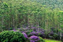 Eucalyptus Plantation With Flo...