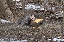 Opossum Eating Corn