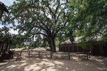 Famous Oak Tree Known As The Witness Tree At The US National Park Santa Monica Mountains Paramount Ranch Property.  The Historic Tree And Western Movie Town Burned Down In The 2018 Woolsey Fire.