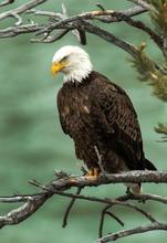 Bald Eagle Over The Yellowstone