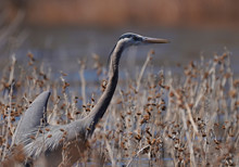 A Great Blue Heron Wades In Th...