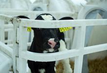 Calves On A Livestock Farm. Yo...