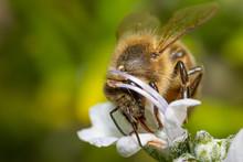Wild Honey Bee Macro Detail Wi...