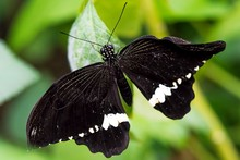 Close Up Of A Black And White Common Mormon Butterfly Lying On A Leaf, Against A Green Bokeh Background