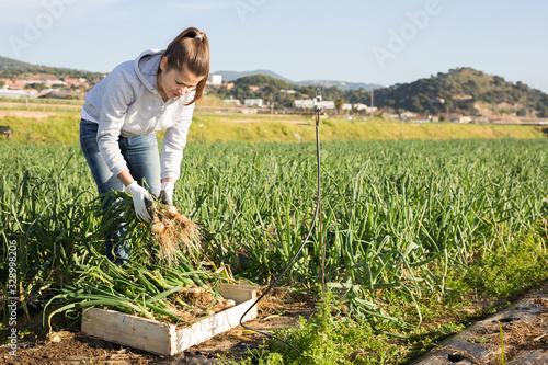 Cuadros en Lienzo Female farmer putting green onions in plastic box