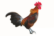 Bantam Chicken Is Standing And...
