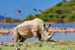 canvas print picture - Rhinoceros on a background of pink flamingos in Nakuru National Park