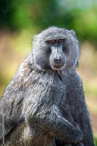 Photo Young olive baboon in Masai Mara National Park of Kenya