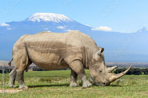 Fototapeta Rhino in front of Kilimanjaro mountain, Amboseli National Park of Kenya obraz