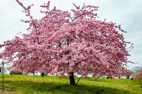 Fotografie, Obraz 豊前の河津桜