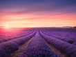 Lavender flower blooming fields endless rows at sunset. Valensole provence