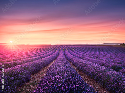 Fototapeta Lavender flower blooming fields endless rows at sunset. Valensole provence obraz