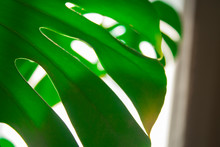 Real Monstera Leaves In Home With Sunlight For Composition Design.Tropical,botanical Nature. Tropical Leaves Close Up.