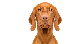Cute Hungarian Vizsla Dog Fron...