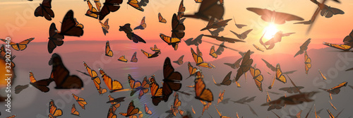 Photo swarm of monarch butterflies, Danaus plexippus group during sunset