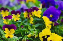 Colorful Horned Pansy Flowers ...