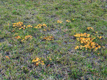 Several Small Groups Of Mushrooms Grow On A Green Lawn