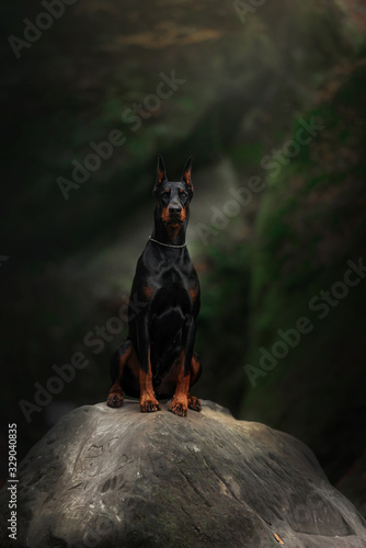Cuadros en Lienzo black doberman dog sitting on a large rock outdoors