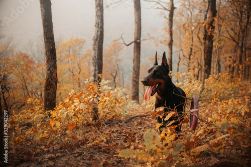 Foto black and tan doberman dog standing in autumn forest