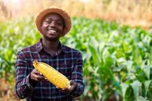 Close Up A Fresh Corn Holding ...