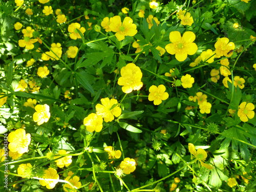 Photo Common Buttercup yellow flowers on green grass background