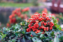 Close Up Bush Of Red Berries. ...