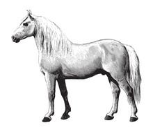 Percheron Horse / Vintage Illustration From Brockhaus Konversations-Lexikon 1908