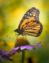 Profile Portrait Of A Monarch ...