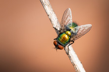 Housefly On A Stick
