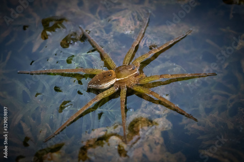 A raft spider floats on the water in anticipation of a meal Wallpaper Mural