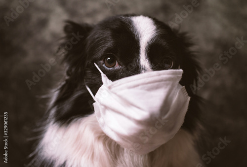 fototapeta na drzwi i meble Border collie dog with medical mask against virus. Concept about animals and coronavirus covid19