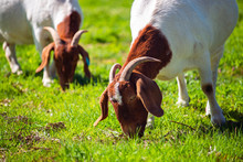 Goats Grazing On A Daily Farm ...