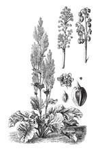 Chinese Rhubarb (Rheum Officin...