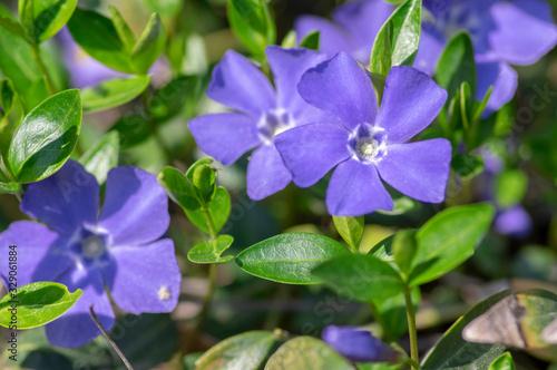 Fototapeta Vinca minor lesser periwinkle ornamental flowers in bloom, common periwinkle flo