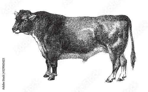 Bull - Scottisch hornless cattle breed / vintage illustration from Brockhaus Konversations-Lexikon 1908