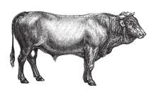 Bull - Swiss Cattle Breed / Vintage Illustration From Brockhaus Konversations-Lexikon 1908