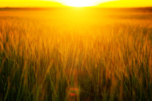 Sunset Over Wheat Field. Beaut...