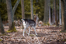 Wild Fallow Deer In Forest. Na...