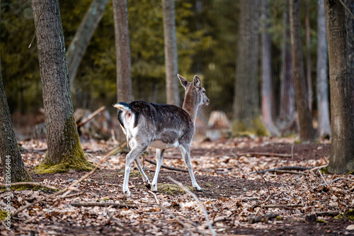 Fototapeta Wild fallow deer in forest. Nature, free, looking.  obraz