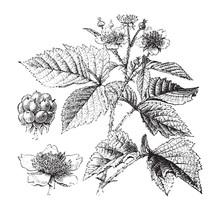 European Dewberry Plant (Rubus...