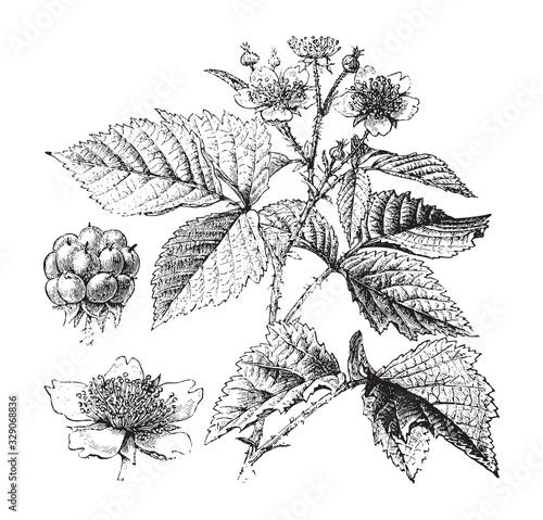 Obraz na plátne European dewberry plant (Rubus caesius) / vintage illustration from Brockhaus Ko