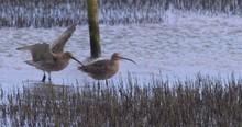 Curlew Wading Wetland Birds La...