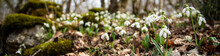 Snowdrops. Spring. Flowers.