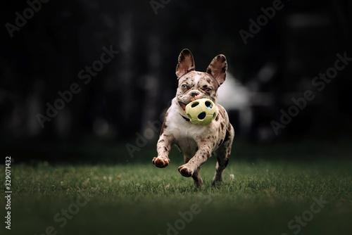 happy french bulldog dog running with a toy in summer Tapéta, Fotótapéta