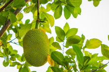 Jack Fruit Hanging On Tree In ...