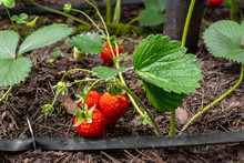 Close-up Green Bush Of Organic Natural Ripe Red Strawberry Growing At Tunnel Greenhouse Indoors Backlit With Warm Sunshine. Automatic Drip Watering System Plantation. Agricultural Plant Food Business