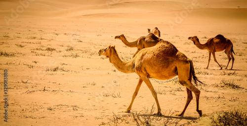 a caravan of camels making their way through the desert, naturally and instinctu Slika na platnu