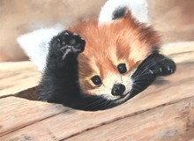 Portrait Of A Cat, Little Red Panda.  Lovely Animal. Baby Panda. The Muzzle Of The Red Panda.